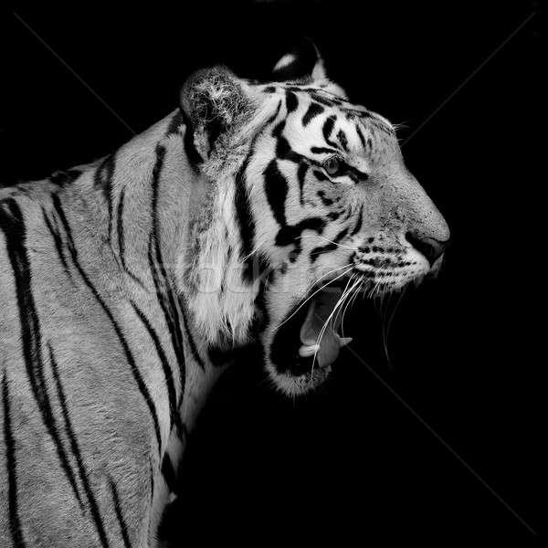 Siyah beyaz kaplan göz kedi portre Stok fotoğraf © art9858
