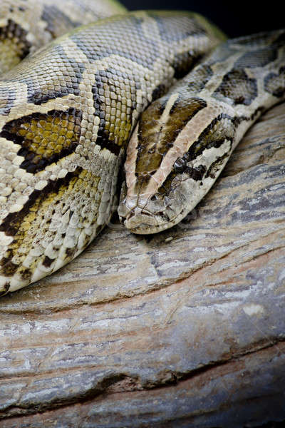 Close-up photo of burmese python (Python molurus bivittatus) iso Stock photo © art9858