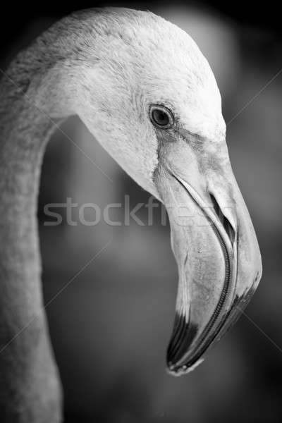 Closeup of a flamingo face - black and white Stock photo © art9858