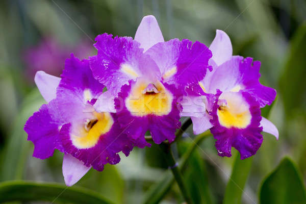Purple orchid Stock photo © art9858