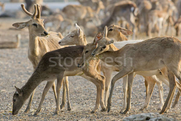 A young Whitetail Buck is with a group of Does. Stock photo © art9858