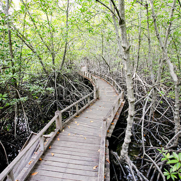Stock photo: walk way to Mangrove forest
