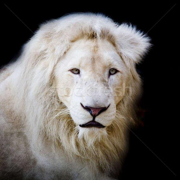 White africa lion Stock photo © art9858