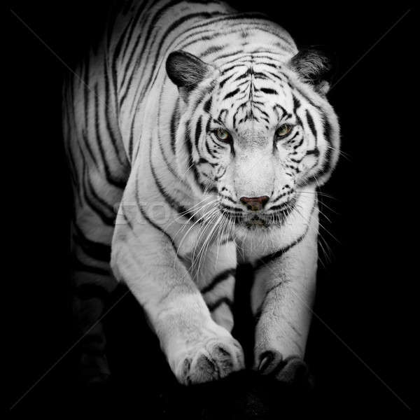 White tiger jumping isolated on black background Stock photo © art9858