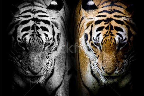 Kot zimą Tygrys biały asia pantera Zdjęcia stock © art9858