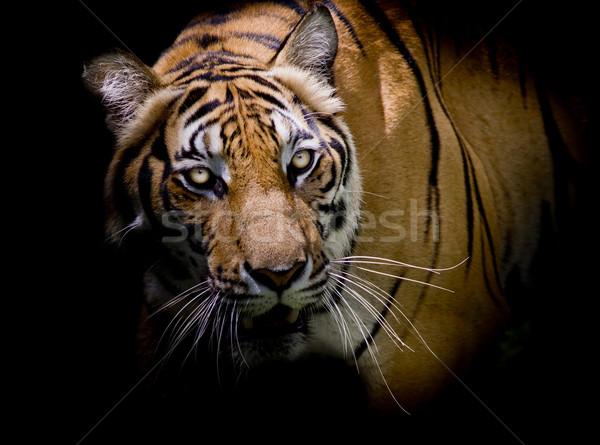 тигр глядя добыча готовый лице Сток-фото © art9858