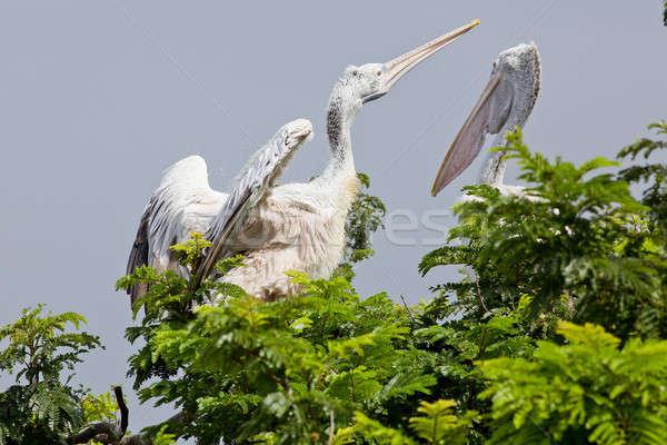 closeup Spotted-billed Pelecan Bird Stock photo © art9858