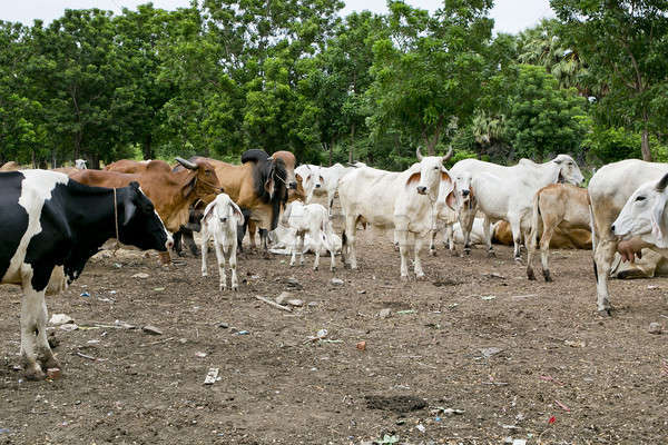 Cows on farmland Stock photo © art9858