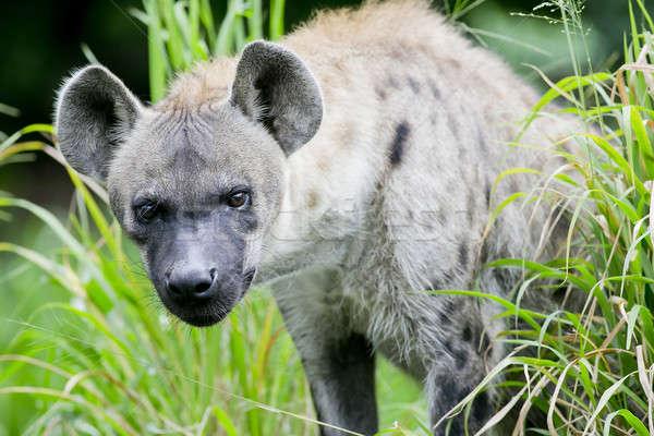 Hyena Stock photo © art9858