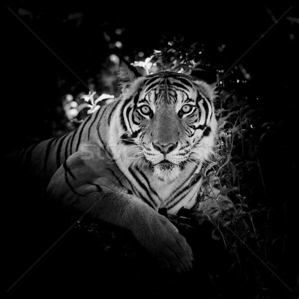 Black & White Beautiful tiger - isolated on black background Stock photo © art9858
