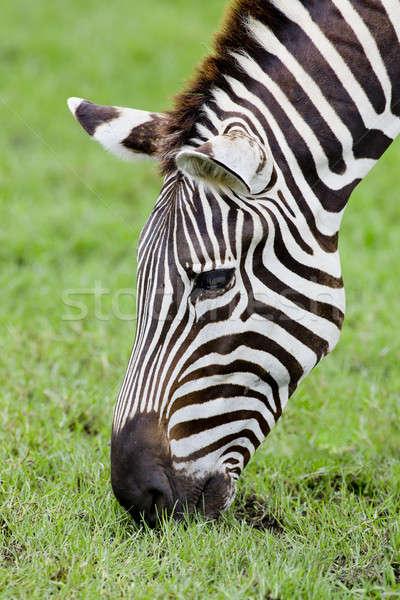 A Headshot of a Burchell's Zebra Stock photo © art9858