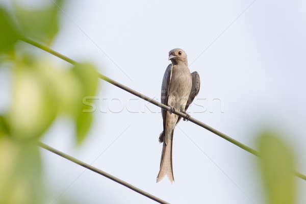 Ashy Drongo on cable Stock photo © art9858