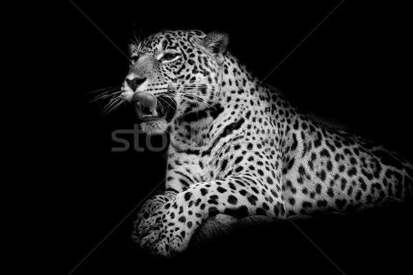 Leopardo preto e branco gato retrato preto parque Foto stock © art9858