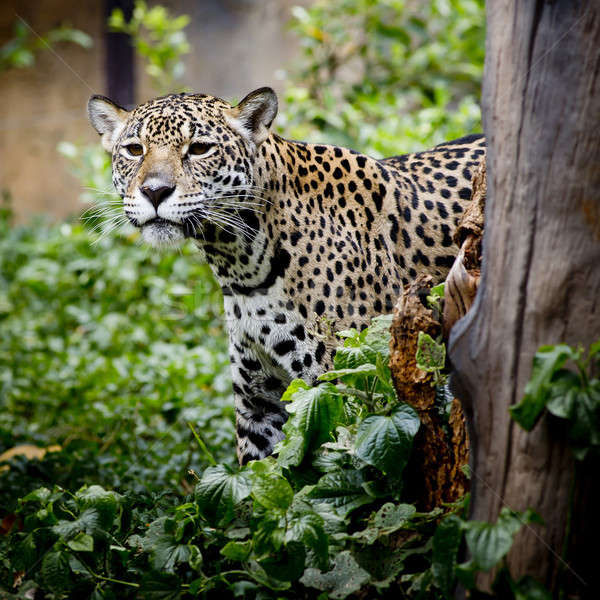 Jaguar portrait Stock photo © art9858