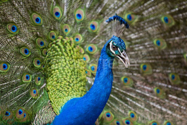 Portrait of beautiful peacock with feathers out Stock photo © art9858
