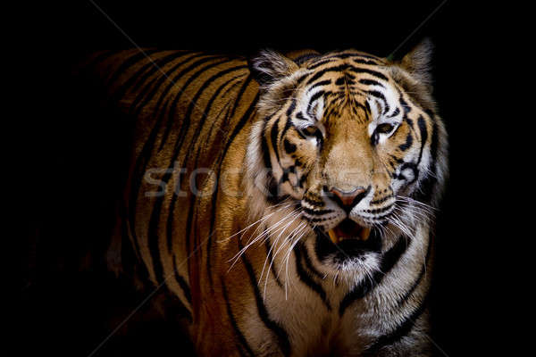 Close up tiger growl - isolated on black background Stock photo © art9858