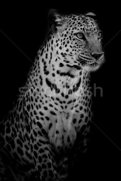 черный белый Leopard портрет лице Сток-фото © art9858