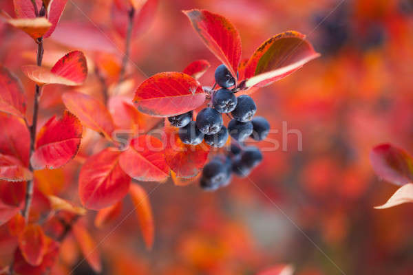 Beautiful berries in autumn Stock photo © artfotodima