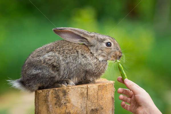 Cute Shy Baby Rabbit. Feeding animal  Stock photo © artfotodima