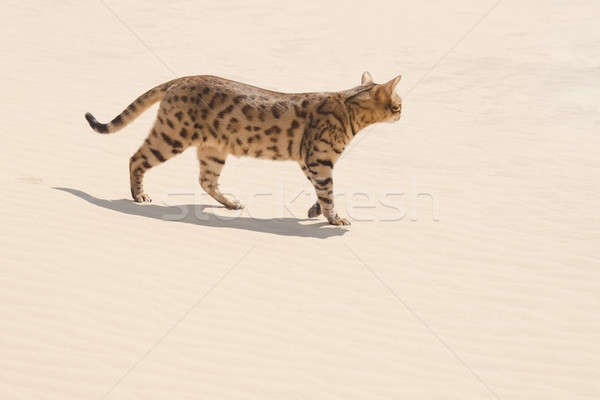サバンナ 猫 砂漠 徒歩 狩猟 ストックフォト © artfotodima