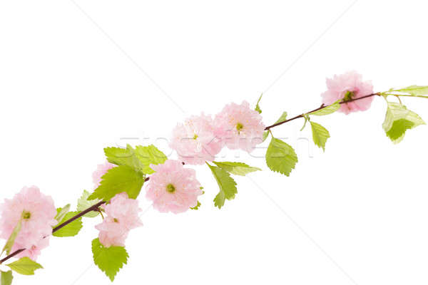 Sakura şube beyaz kiraz çiçeği çiçekler yalıtılmış Stok fotoğraf © artfotodima
