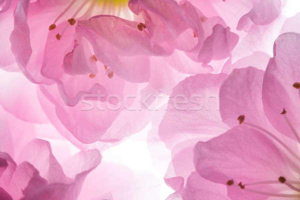 Pembe çiçekler sakura parlak çiçek Stok fotoğraf © artfotodima