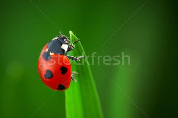 Ladybug сердцах назад зеленая трава зеленый форма Сток-фото © artfotodima