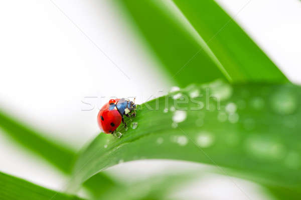 Coccinella foglia erba verde gocce d'acqua bianco erba Foto d'archivio © artfotodima