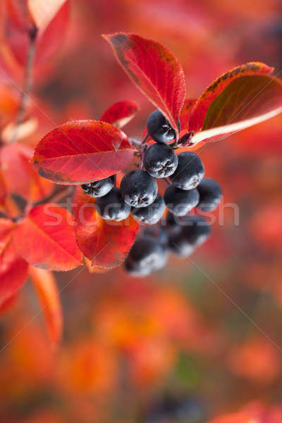 Beautiful berries in autumn Stock photo © artfotodima