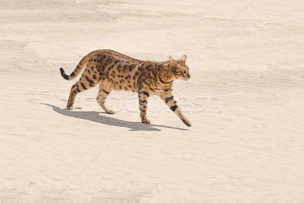 Szavanna macska sivatag vad sétál vadászat Stock fotó © artfotodima