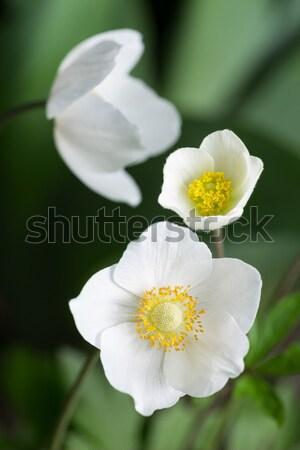 Mooie voorjaar witte bloemen bos macro selectief Stockfoto © artfotodima