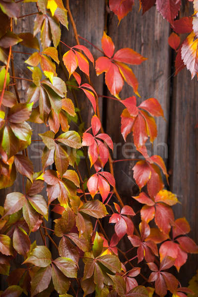Fall season natural colorful background of macro leaves. Stock photo © artfotodima