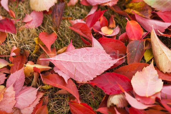 Spadek sezonie naturalnych kolorowy makro pozostawia jasne Zdjęcia stock © artfotodima