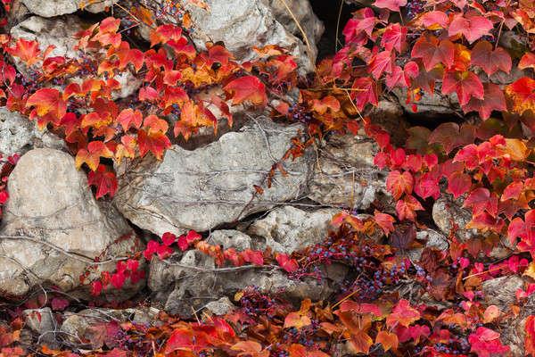 Eski taş duvar kapalı bitki örtüsü fotoğraf tırmanma Stok fotoğraf © artfotodima