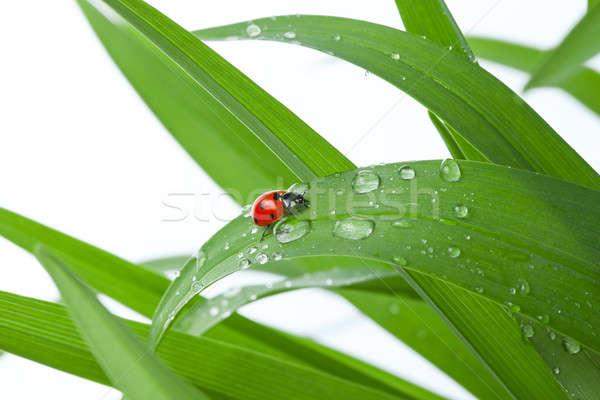 Joaninha folha grama verde gotas de água branco grama Foto stock © artfotodima
