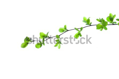 зеленый филиала весны дерево изолированный белый Сток-фото © artfotodima
