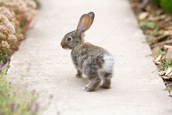 Rabbit is Beautiful Animal of Nature Stock photo © artfotodima