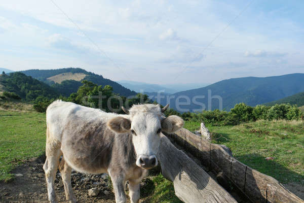 milck cow with grazing on Switzerland Alpine mountains green grass pasture over blue sky Stock photo © artfotodima