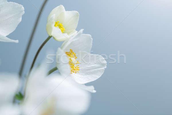 Stock foto: Weiß · Frühlingsblumen · Frühling · weißen · Blüten · blau · wählerisch