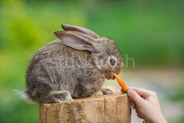 Aranyos félénk baba nyúl etetés állat Stock fotó © artfotodima