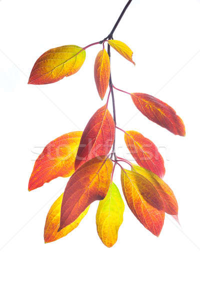 Automne érable laisse branche coloré isolé Photo stock © artfotodima