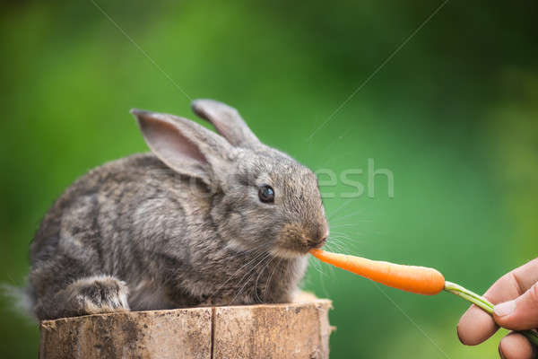 Cute Baby Rabbit. Feeding animal  Stock photo © artfotodima