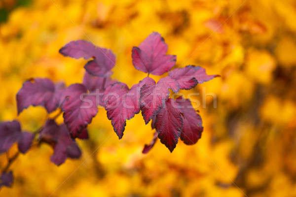 ág ősz ibolya levelek őszi szezon természetes Stock fotó © artfotodima