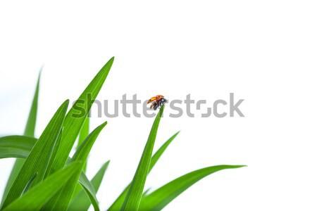 Joaninha folha para cima grama verde gotas de água branco Foto stock © artfotodima