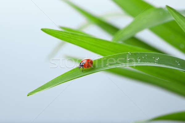 Photo stock: Coccinelle · feuille · herbe · verte · gouttes · d'eau · bleu · herbe