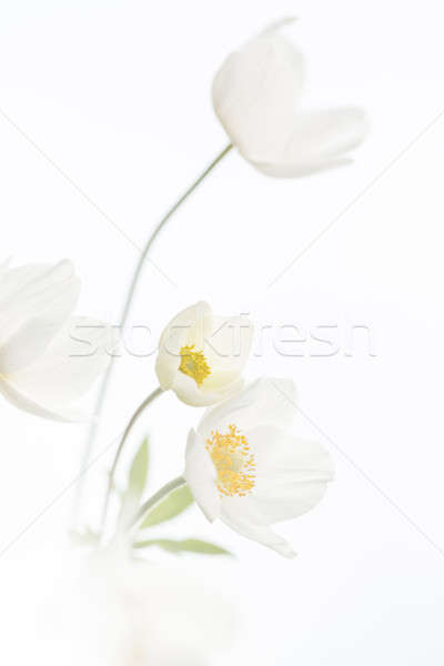 белые цветы изолированный весны селективный мелкий Focus Сток-фото © artfotodima