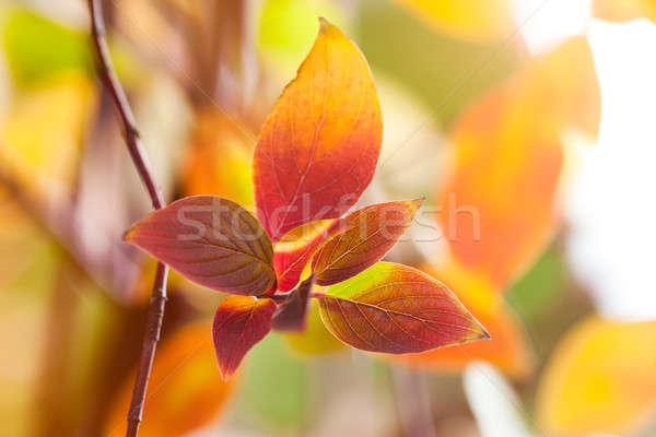 Sezon güz doğal renkli makro yaprakları parlak Stok fotoğraf © artfotodima