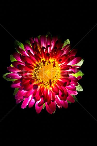 Surreale buio fiore rosa dalia macro isolato Foto d'archivio © artfotodima