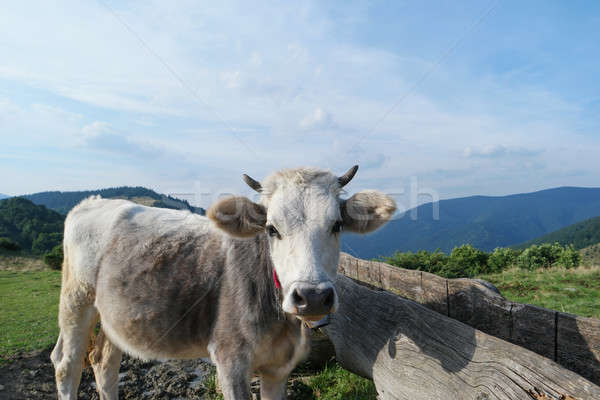 milk cow with grazing on Switzerland Alpine mountains green grass pasture over blue sky Stock photo © artfotodima