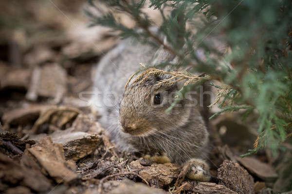 Rabbit is Beautiful Animal of Nature Stock photo © artfotodima